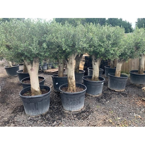35 - HUGE 2M PLUS TALL OLIVE TREE IN POT (IMAGE FOR ILLUSTRATION PURPOSES ONLY - EACH TREE MAY SLIGHTLY D...