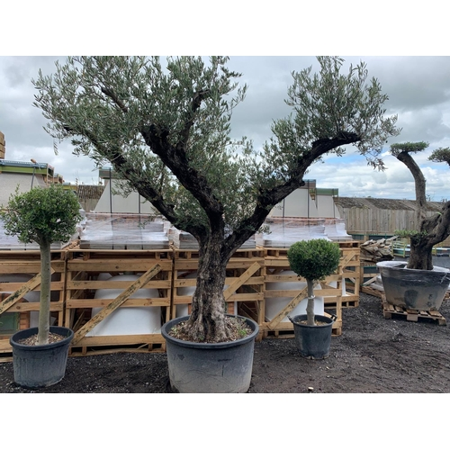 39 - HUGE 3M PLUS 150YR OLD OLIVE TREE APEALLING FROM ALL SIDES (IMAGE FOR ILLUSTRATION PURPOSES ONLY - E...