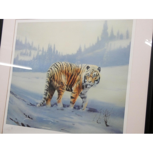 11 - A framed Limited Edition print of a Siberian Tiger by Spencer Hodge, image size 20