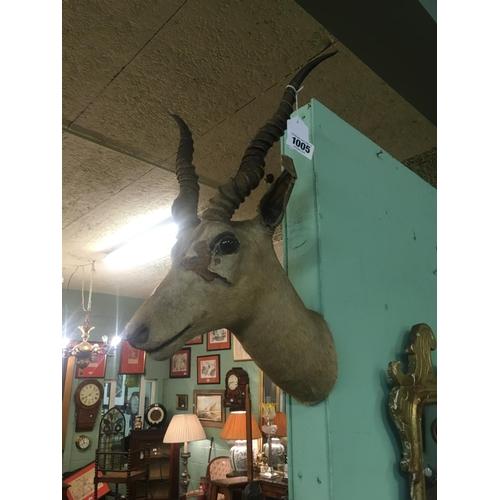 1005 - Taxidermy gazelle head....