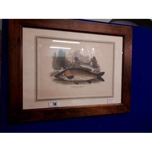 16 - Framed coloured print - The Common Carp. (57 cm l x 44 cm h)...