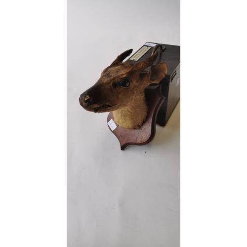 527 - 19th. C. taxidermy doe head mounted on an oak plaque....