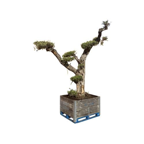 82 - Bonsai tree  -  250years old. {250 cm H}....