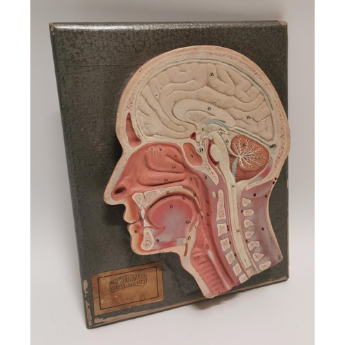 36 - Early 20th C. rubberoid head anatomy medical model {31 cm H x 24 cm W}....