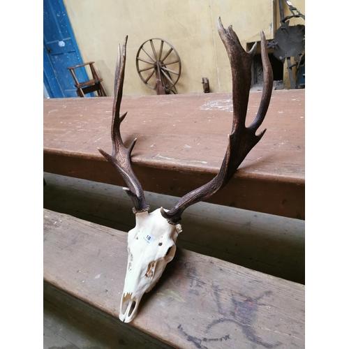 18 - Deer skull and antlers. { 76 cm H x 55 cm W}....