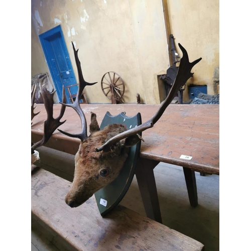 19 - Taxidermy deer head mounted on painted shield. { 65 cm H x 55 cm W}...