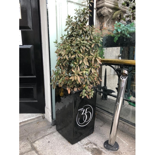 31 - Pair of glazed planters completed with foliage W 38cm H 170cm...