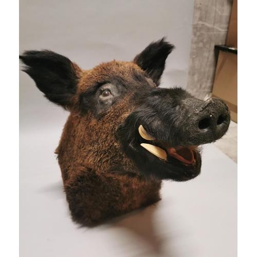 2 - Early 20th C. taxidermy Boar's head {54 cm H x 36 cm W x 65 cm D}....