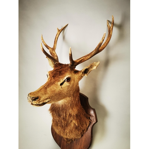 20 - Late 19th C. taxidermy Stag's head mounted on oak plaque {105 cm H x 50 cm W x 64 cm D}.