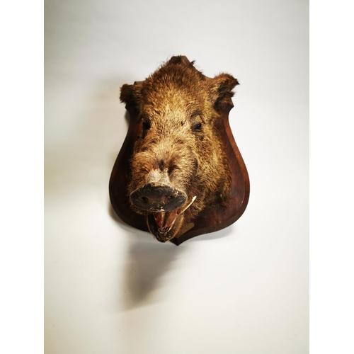 35 - Taxidermy boar's head mounted on an oak plaque. {60 cm H x 50 cm W x 58 cm D}.