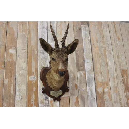 11 - Taxidermy deer's head mounted on an oak plaque inscribed Château de Mouchy 19th October 1911. {50 cm...