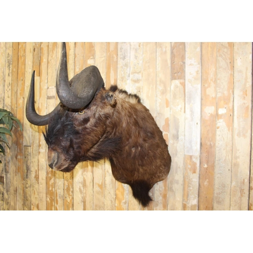 13 - Taxidermy Bison Head. { 80 c h x 50 cm W x 75 cm D}...