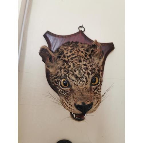 15 - 19th. C. taxidermy cheetah's head mounted on an oak shield { 28cm H X 22cm W }.