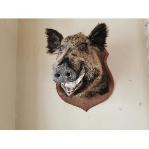 11 - Taxidermy boar's head mounted on an oak plaque { 69cm H X 46cm W }.