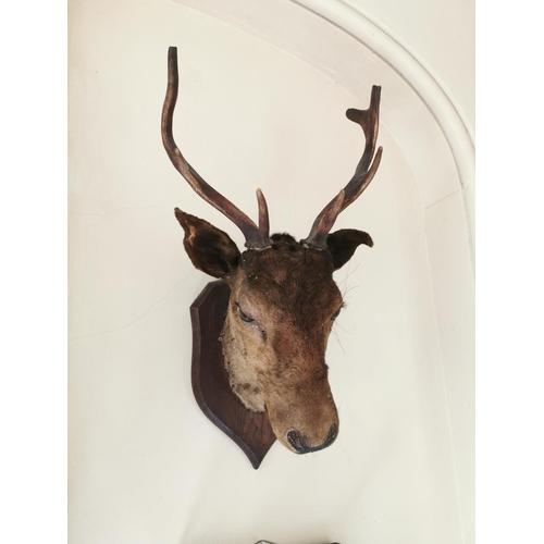 23 - 19th. C. taxidermy deer's head mounted on an oak shield. { 69cm H X 34cm W }.
