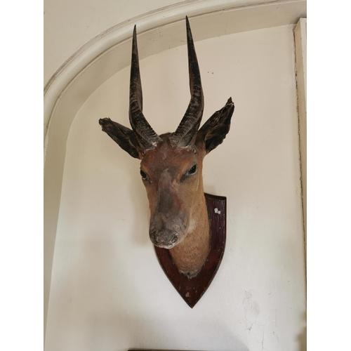 28 - 19th. C. taxidermy gazelle's head mounted on an oak shield. { 66cm H X 19cm W }.