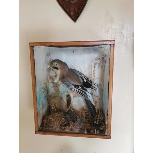 29 - 19th. C. taxidermy Jay mounted in a glazed case. { 40cm H X 34cm W X 17cm D }.