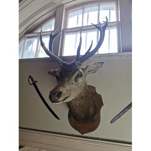 43 - 19th. C. taxidermy stag's head mounted on an oak shield. { 112cm H X 52cm W }.