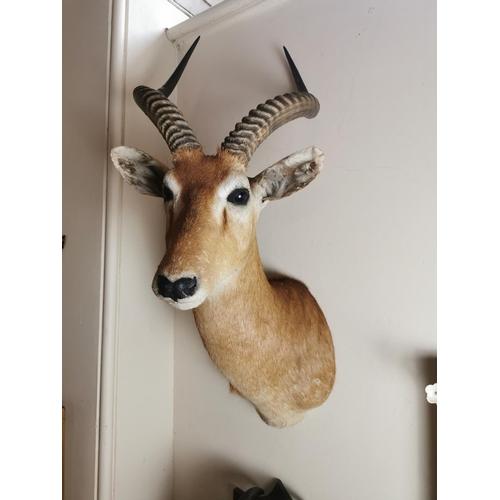 45 - 19th. C. taxidermy  head. { 89cm H X 38cm W }.