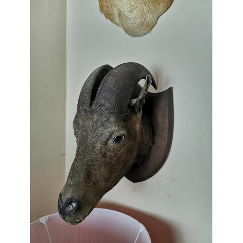 46 - 19th. C. taxidermy head mounted on an oak shield. { 38cm H X 24cm W }.