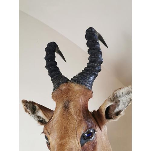 54 - 19th. C. taxidermy  gazelle head   { 110cm H X 45cm W approx }.