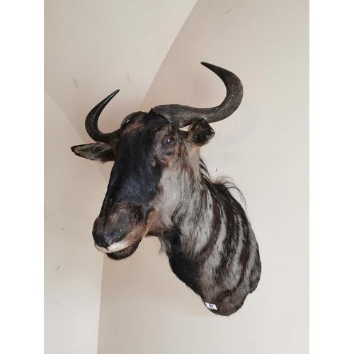 57 - 19th. C. taxidermy black wildebeest head. { 84cm H X 57cm W approx. }.