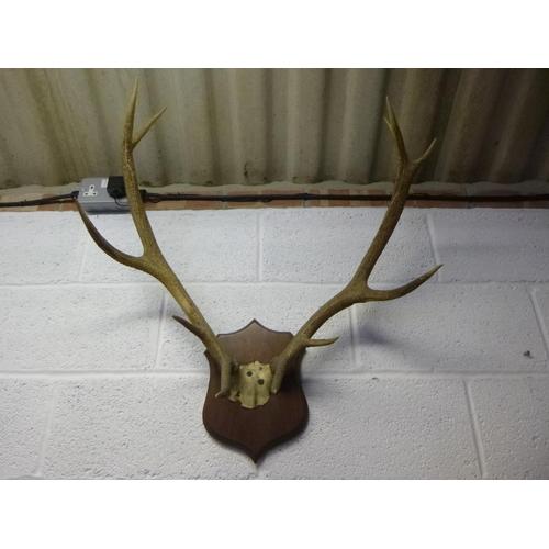143 - Mounted Red Deer Antlers...