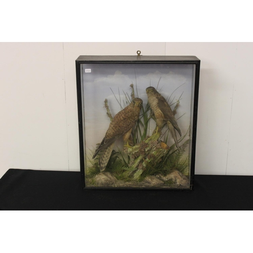319 - 1 x pair of sparrow hawkers  taxidermy in glass case...