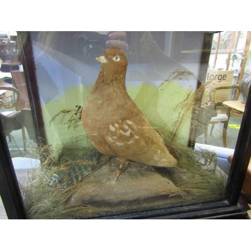 206 - TAXIDERMY, vintage cabinet cased display of Brown Pigeon, 13