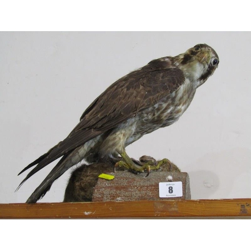 8 - TAXIDERMY, mounted display of Sparrow Hawk and Kill, 30