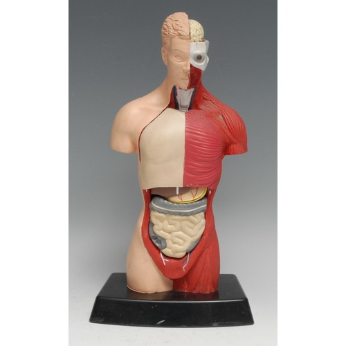 3677 - Medical - a rubber didactic anatomical model, of a male torso, enclosing its organs, 26.5cm high
