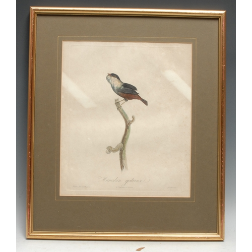 4038 - Ornithology - Gremilliet, by, Pauline De Courcelle, after, Manakin Goitreux, from Histoire Naturelle...