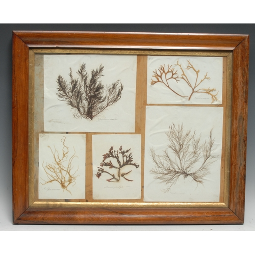 3802 - Natural History - a 'herbarium' arrangement of seaweed samples, each annotated with Linnaean taxonom...