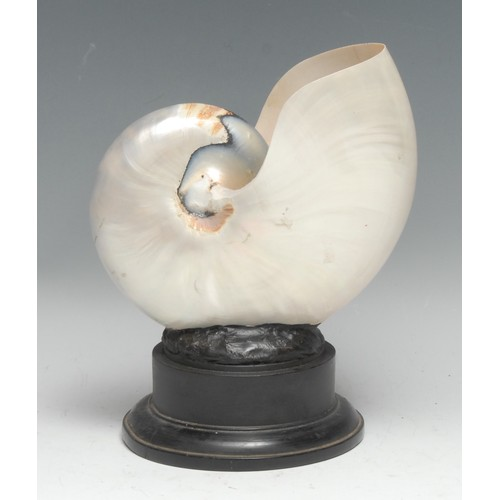3811 - Natural History - Conchology, a pearl nautilus shell, mounted for display, 19.5cm high overall
