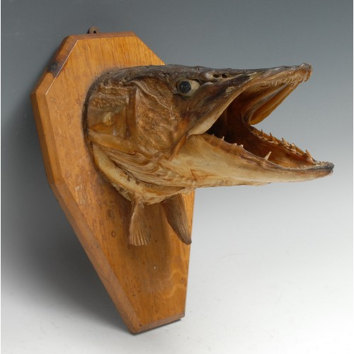 3829 - Taxidermy - Fishing, a pike's head, naturalistically mounted, its mouth agape, canted shield-shaped ...