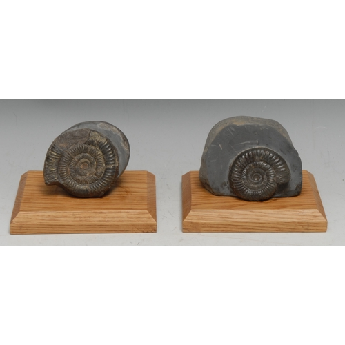 3821 - Natural History - Geology, Palaeontology - an ammonite specimen, the matrix 9cm wide, mounted for di...