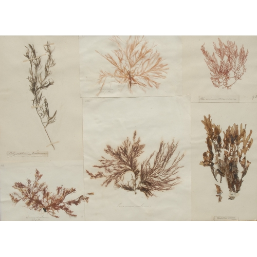 3806 - Natural History - a pair of 'herbarium' arrangements of seaweed samples, each annotated with Linnaea...