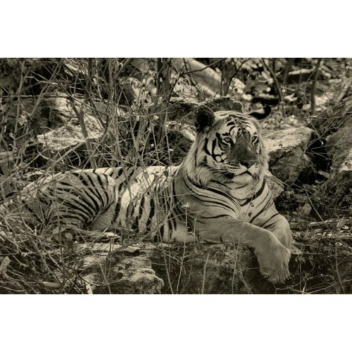 30 - A black and white photograph, by Roger Hooper, of a tiger at Pench National Park, Mahya Pradesh, Ind...
