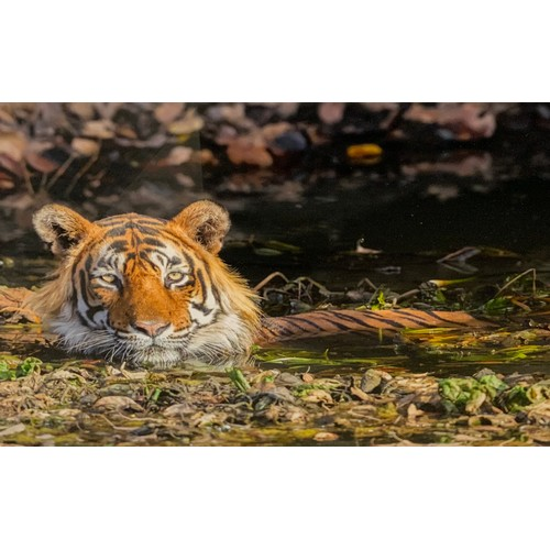 31 - Three coloured photographs of Tigers,  Bengal Tigress and her Cubs; Tiger cooling himself at Kanha T...