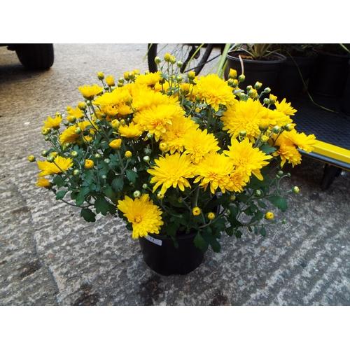 11 - Chrysanthemum...