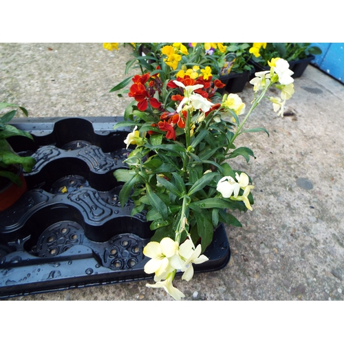 16 - 3 Dwarf Wallflower...