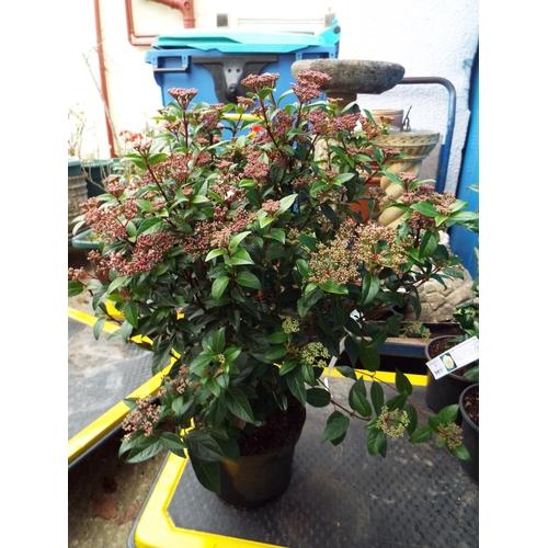 3 - Viburnum Ladybird...