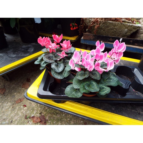 6 - Two Large Cyclamen - Outdoor...