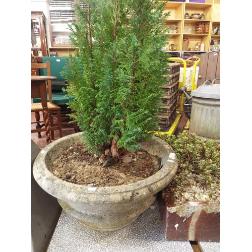 8 - Large Bowl Shaped Concrete Planter with small Tree in Residence...
