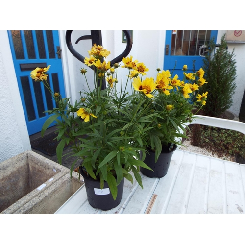 8A - Two Coreopsis...