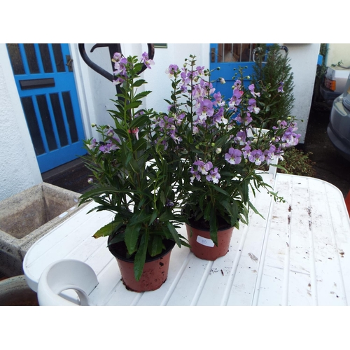 8D - Two Angelonia...