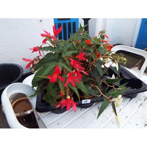 8E - Three Begonia...