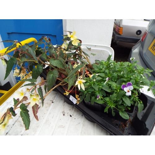 3 - Three Begonia and a Tray of Viola...