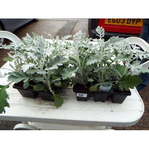 5B - Two 6 Pack Silver Cinararia...