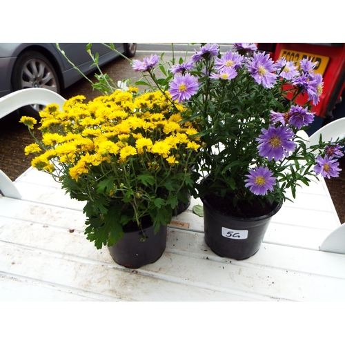 5G - Aster, Chrysanthemum and Gaura...
